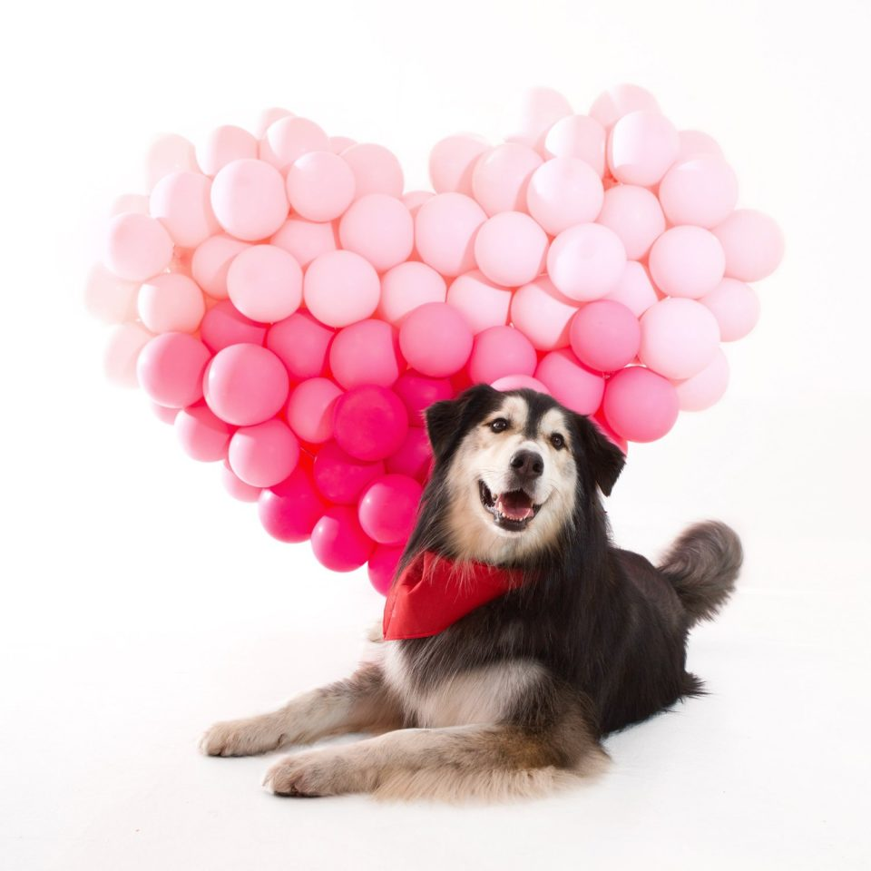 Scout the Gray and White Retriever in front of a light pink and dark pink heart Balloon Sculpture